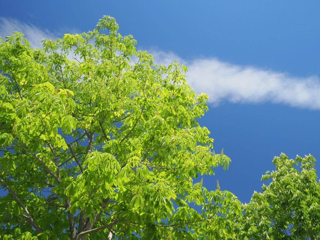 とちの木。